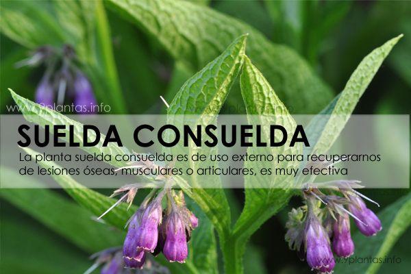 SUELDA CONSUELDA, consulda, planta medicinal