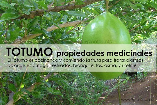 Totumo propiedades medicinales