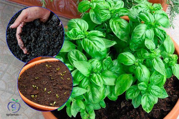 Aprende a cultivar ALBAHACA, huerto, jardín, macetas