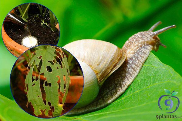 Como evitar y eliminar los caracoles, babosas y limacos