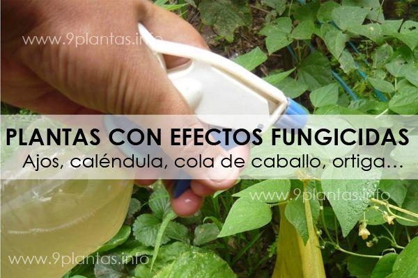 Plantas con efectos fungicidas para el jardín, huerto