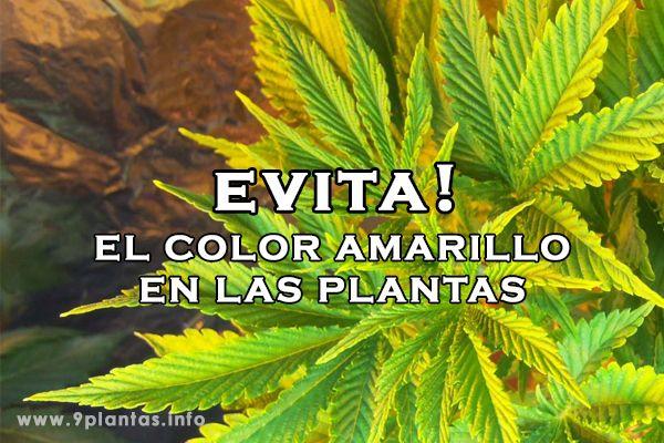 Porque las hojas de mis plantas se ponen amarillas, clorosis