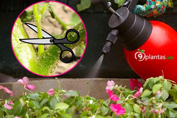 Insecticida casero con brotes de tomate para orugas y pulgones