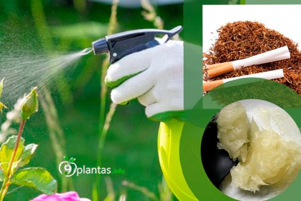 BIOPLAGUICIDA: Tabaco contra los pulgones y mosca blanca