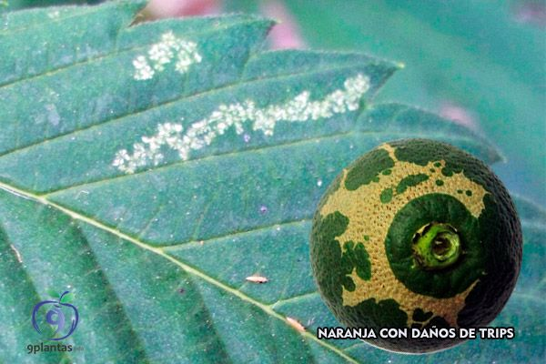 Insectos en las plantas, ¿Cómo eliminar los trips?