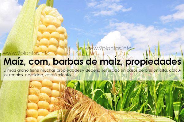 Maiz, corn, barbas de maiz, barbas de choclo, (Zea Mays)