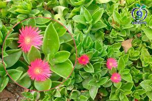 Aptenia cordifolia, rocío, escarcha