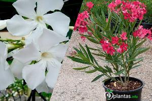 Adelfa ¿Cómo cultivar flores hermosas?
