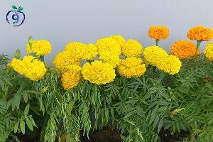 Marigold cultivo y cuidados