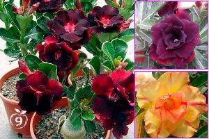 Rosa del desierto, Adenio, reproducción y cuidados