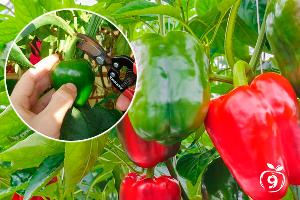 ¿Cómo cultivar pimientos?