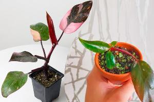 Philodendron Pink Princess Guía de cuidados
