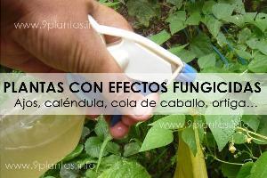 Plantas con efectos fungicidas