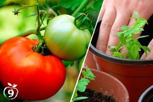 Tomates cultivo y enfermedades